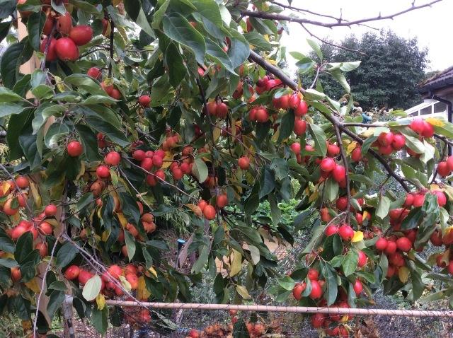 8 Crab apple tree