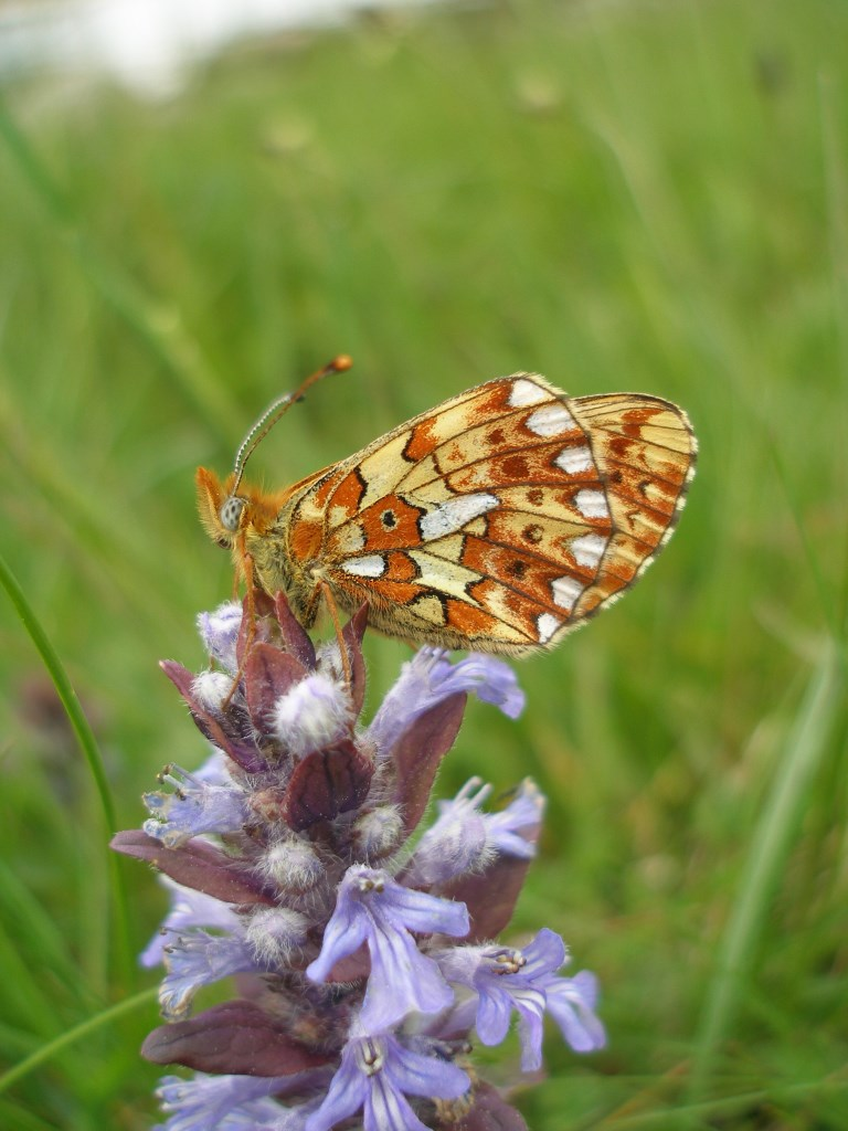 This image has an empty alt attribute; its file name is pearl-bordered-fritillary-3.jpg