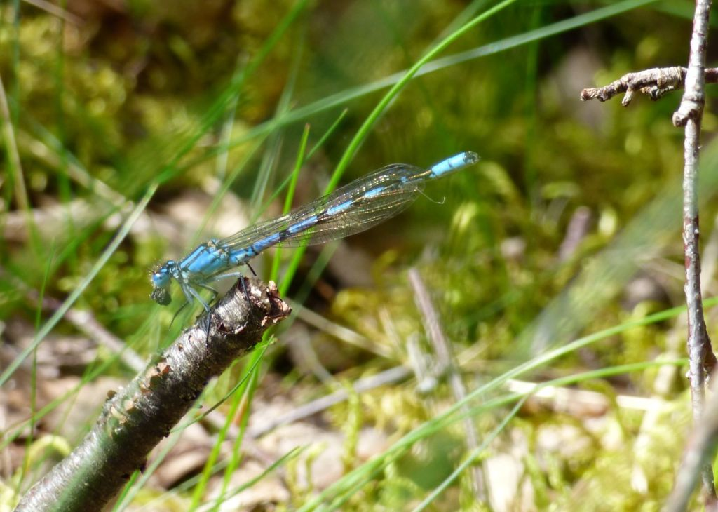 This image has an empty alt attribute; its file name is common-blue-damsel-.jpg